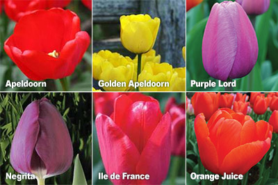 Bulbs for Brides Varieties
