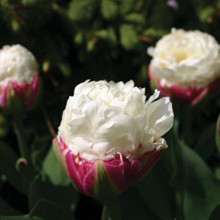 ice cream tulip bulbs double tulips. Black Bedroom Furniture Sets. Home Design Ideas