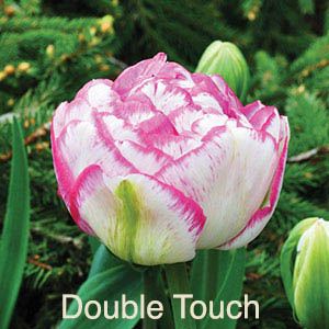 Tulip Tidbits Feature image