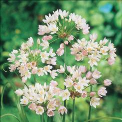 Allium Roseum Grandiflorum