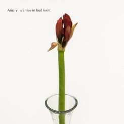 Amaryllis in Bud Form