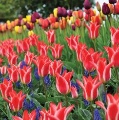 Greigii Tulips
