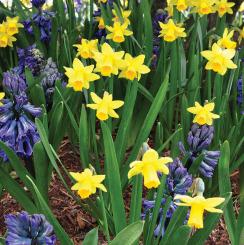 Bulk Daffodils