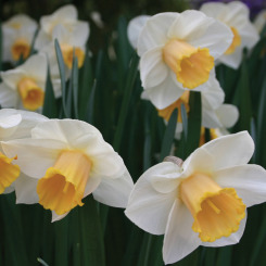Large Cupped Daffodils